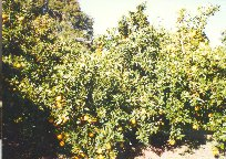 Mutcotte tangerines on the left & navel oranges on the right in dad Howard's yard